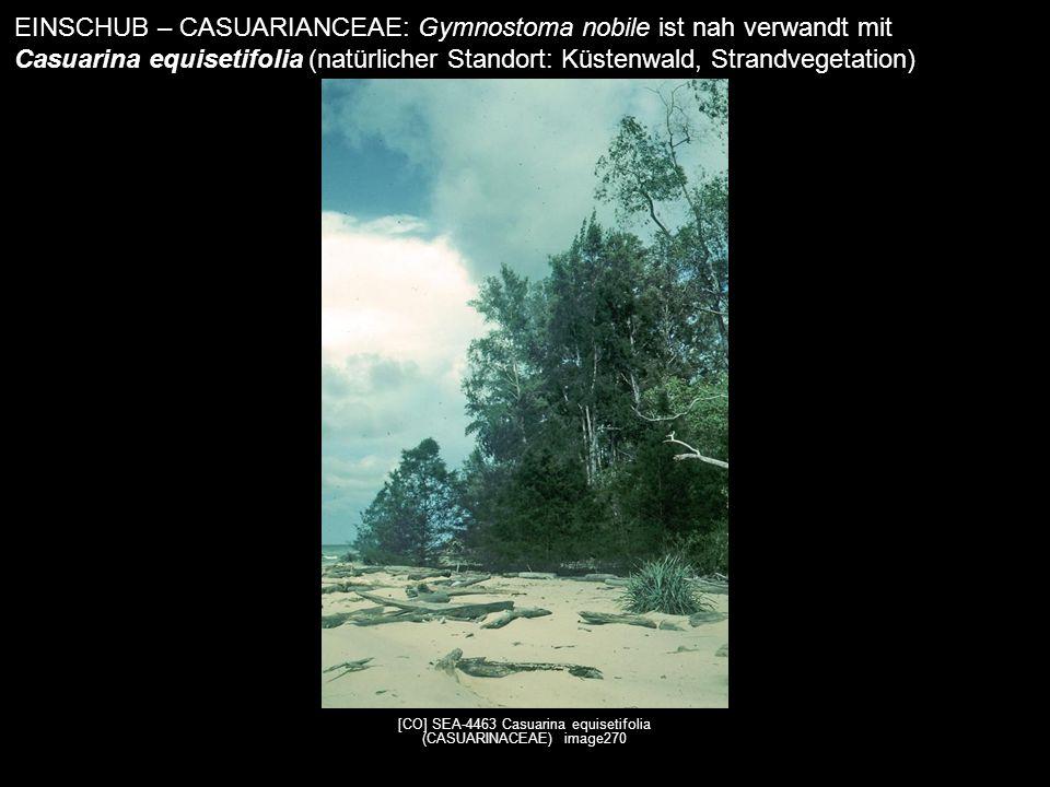 [CO] SEA-4463 Casuarina equisetifolia (CASUARINACEAE) image270